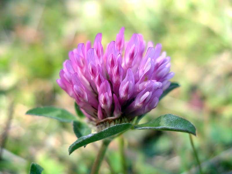 Билки за облекчаване на менопауза – кои са природните дарове?